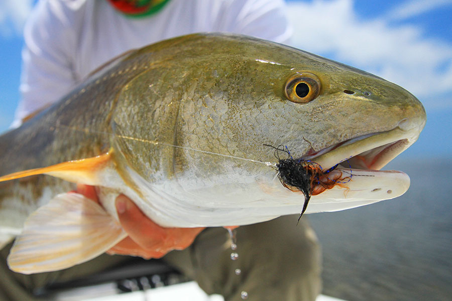 Fly fishing for redfish in the Everglades