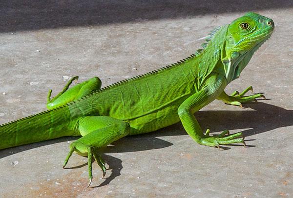 iguanaedit